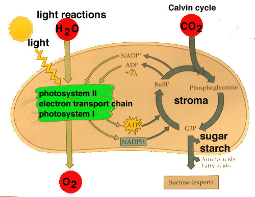 reaction light dark photosynthesis dependent independent diagram reactions stage vs simple respiration between cycle process chart plant plants calvin cellular